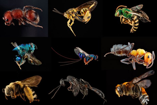 Colorful images of 9 flies, wasps and ants showing diversity.